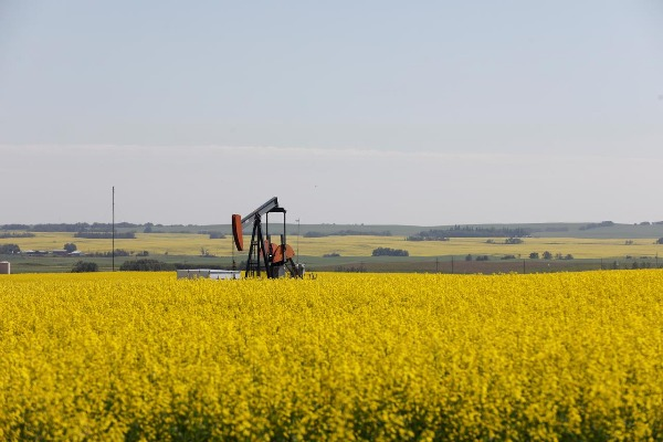 Western Canadian canola fields surrounding an oil pump jack are seen in full bloom before they will be harvested later this summer in rural Alberta, Canada